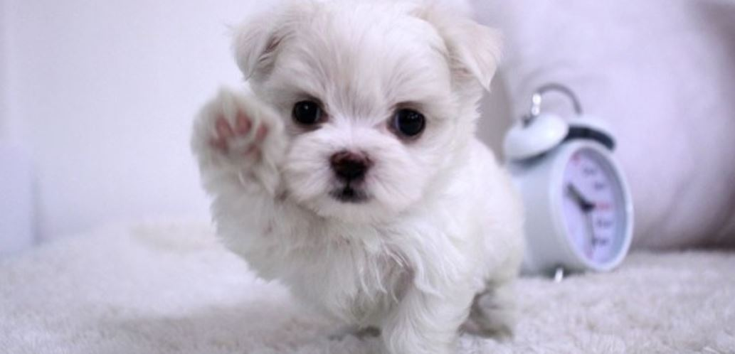 Drömtydning Vit Hund: Drömmar Betydelse, Symboler