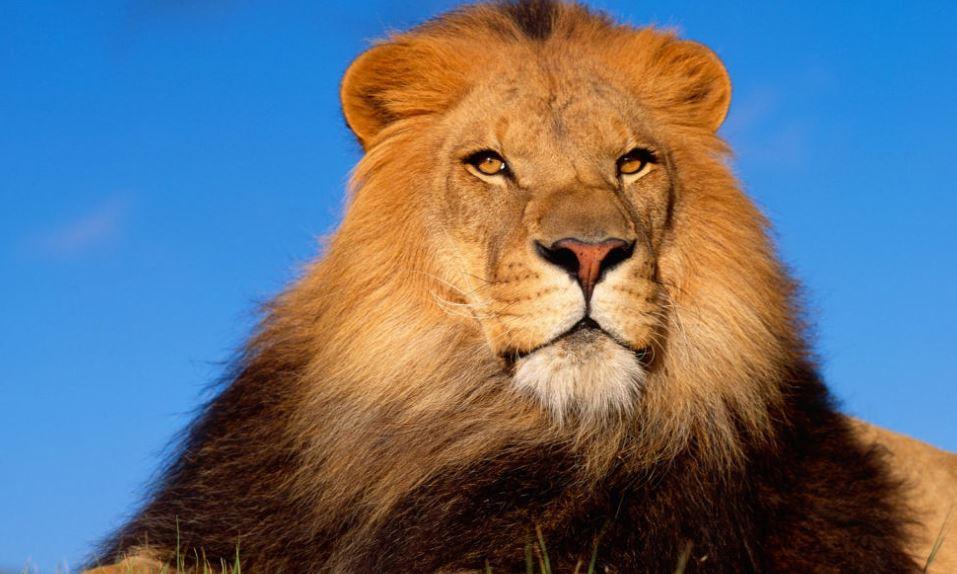 lejon: Dröm Betydelse, Tolkning, Symboler