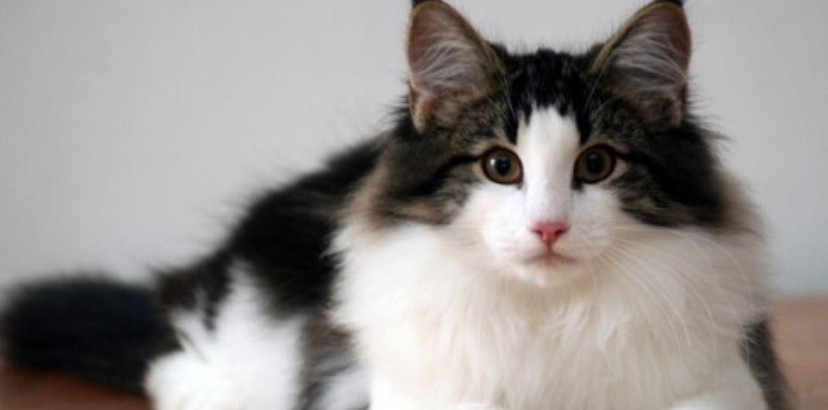 Drömtydning katt: Drömmar Betydelse, Symboler