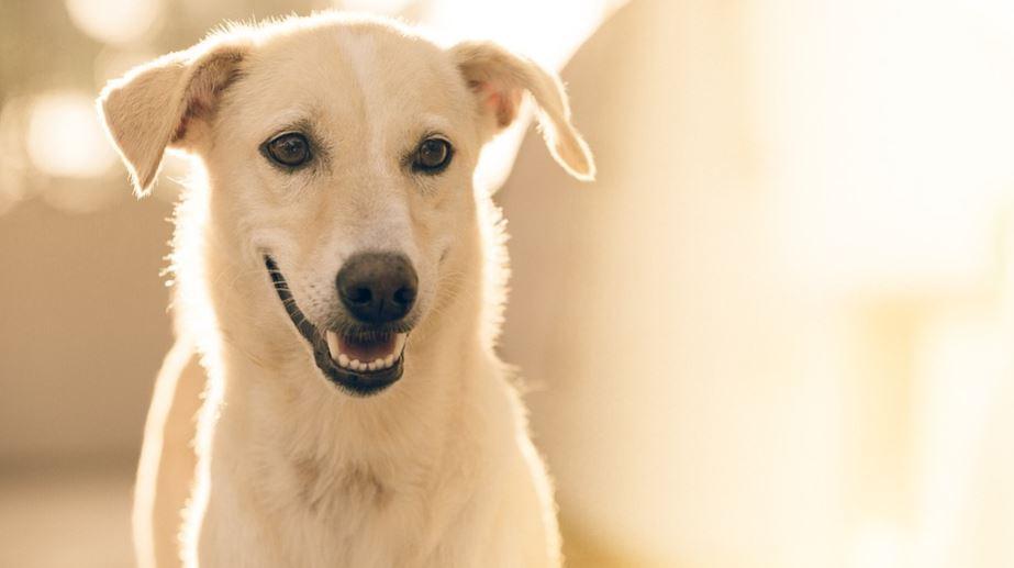 Dröm hund: Vad betyder det?