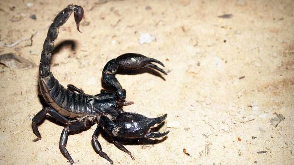 Drömtydning skorpion: Drömmar Betydelse, Symboler