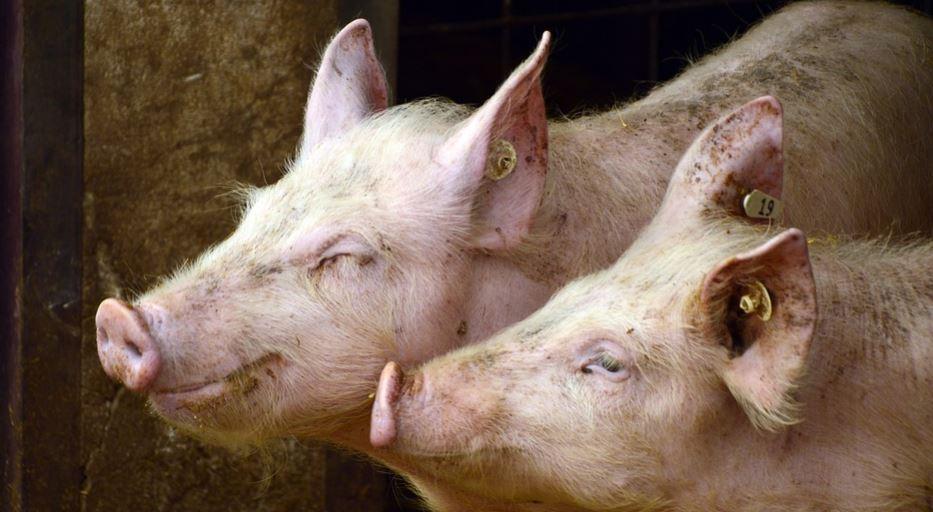 Drömtydning gris: Drömmar Betydelse, Symboler