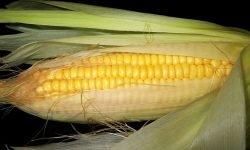 Är majs nyttigt? Allt för Hälsan