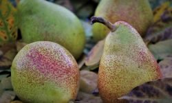 Är päron nyttigt? Allt för Hälsan