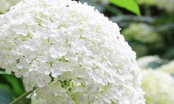 Hortensia: Betydelsen av blommor