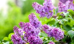 Syren: Betydelsen av blommor