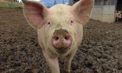 Drömtydning gris - Vad betyder det?