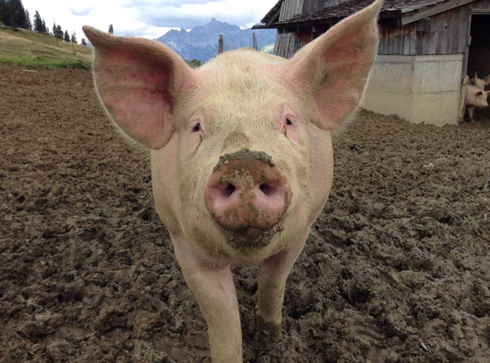 Drömtydning gris