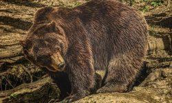 Drömtydning björn - Vad betyder det?