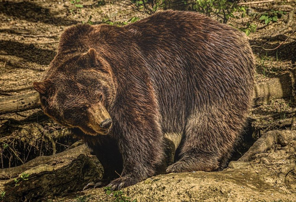 Drömtydning björn