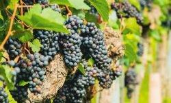 Drömtydning druvor - Vad betyder det?